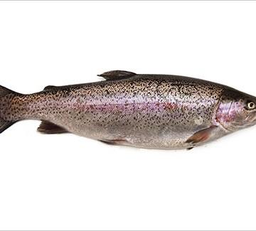 Trote pesca sportiva Asti